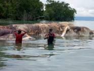 بالفيديو: جثة ضخمة لحيوان غريب تثير الحيرة في إندونيسيا