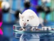دراسة : لماذا يفضل العلماء تجربة الأدوية على الفئران بالذات ؟