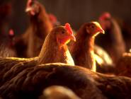 بيت لحم: حملة تفتيشية على مسالخ الدواجن واللحوم