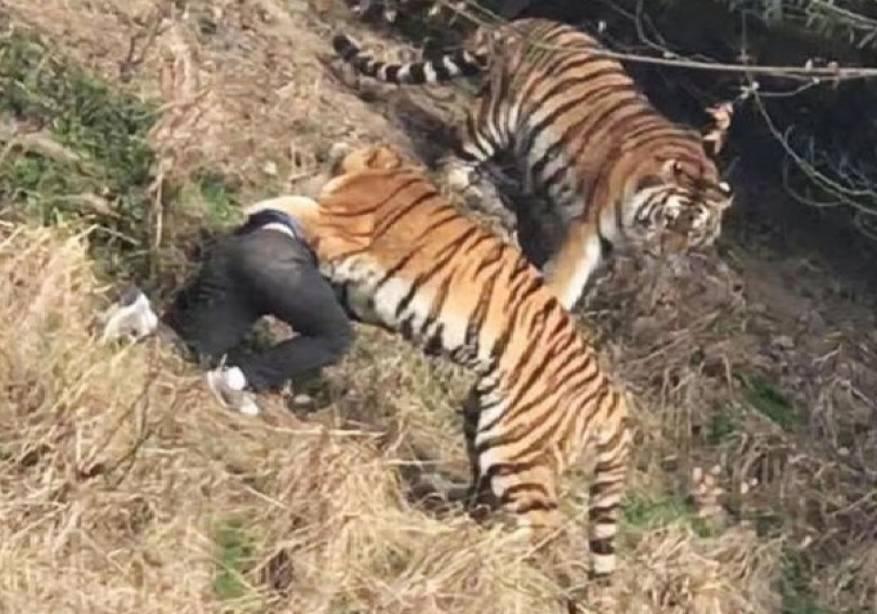 فيديو يصدم العالم نمر يفترس رجل على مرأى من زوجته وابنته في جديقه بالصين