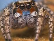 فيديو:نوع جديد من العناكب القافزة يمتلك طقوساً مميزة في المغازلة.