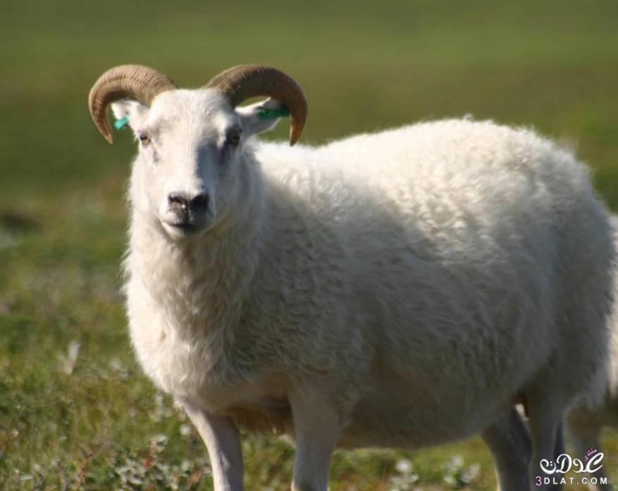 3dlat.net_08_15_86a7_Icelandic-sheep-summer-06