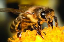 """فيروس """"اسرائيلي """" متطور  يحول النحل الى """"زومبي """""""