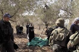 القدس المحتلة :مستوطنون يقتلعون 310 شجرة زيتون معمرة