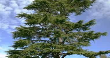 التغير المناخي يقتل أشجار الأرز في لبنان..........رمز الدولة والحضارات المختلفة في خطر