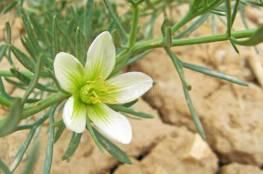 نبتة الحرمل سلاح تركمانستان لمحاربة كورونا