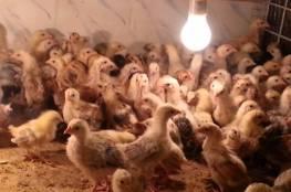 نفوق خمسة آلاف صوص دجاج في حريق مزرعة شرق جنين
