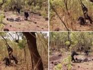 فيديو:هجوم مجموعة من القردة على دكتاتور طاغية فاغتالته