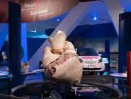 بالفيديو - متحف كندي يعرض قلب الحوت الأزرق.. أكبر قلب على وجه الأرض