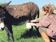 """بالصور: حليب الحمير"""".. مصدر رزق أسرة تركية"""