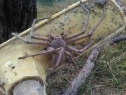 أضخم عنكبوت في العالم؟