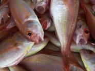الملايين سيحرمون من أكل السمك والسبب!!