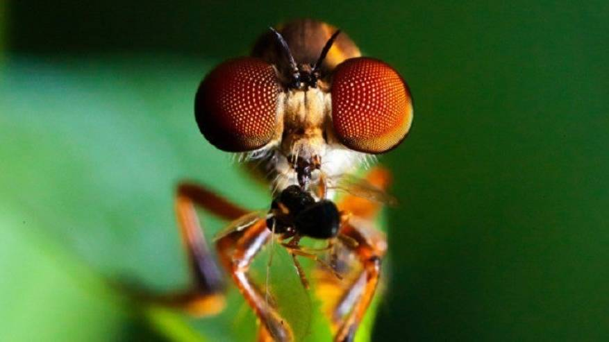 حشرات كالمقاتلات الحربيّة وأمهر من النسور.. إحذروا الذباب المفترس