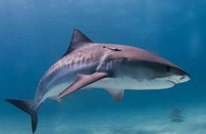 أسماك القرش قبالة سواحل مدينة الخضيرة المحتلة
