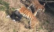 فيديو يصدم العالم.. نمرٌ يفترس رجلًا على مرأى من زوجته وطفلته
