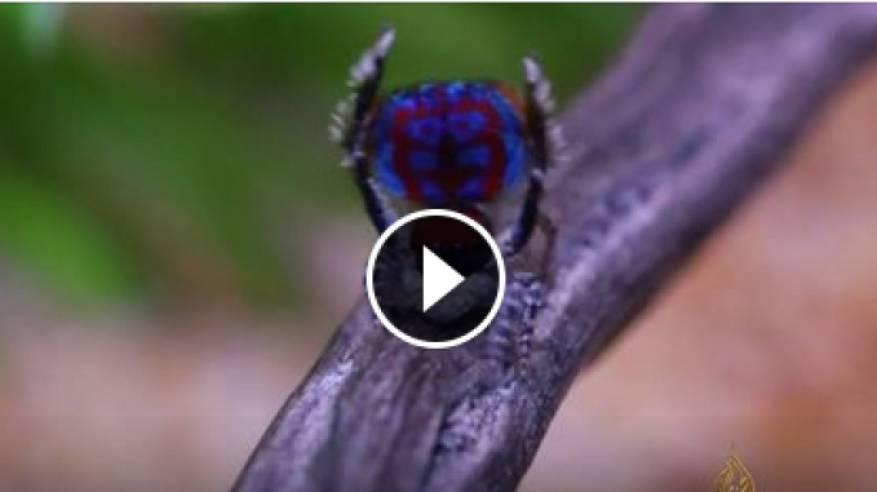 #شاهد | عناكب ملونة راقصة.. تصف لك بديع خلق الله