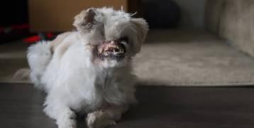 من إيران الى كندا.. كلبة مشوهة تبدأ رحلتها في عالم التجميل!