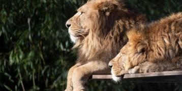 """مذبحة """"مروعة"""" في جنوب إفريقيا.. قتل 54 أسدا خلال يومين"""