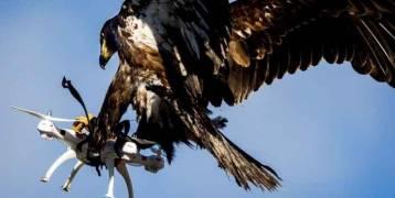 فيديو:تدريب صقور على إسقاط طائرات دون طيار