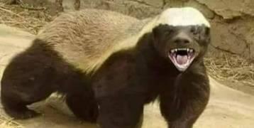 """""""غرير العسل"""" من اخطر المخلوقات على الارض"""
