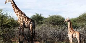 زرافتان قزمتان بأوغندا وناميبيا تثيران دهشة العلماء