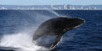 """""""نهاية سعيدة"""" لحوت علق وسط """"نهر التماسيح"""" بأستراليا"""
