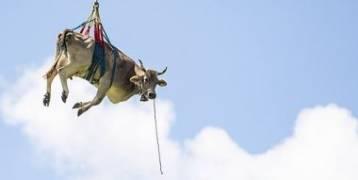 اعرف السبب وراء حمل طائرة هيلوكوبتر بقرة فى الهواء بسويسرا... صور