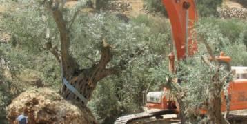 الاحتلال يقتلع 22 شجرة زيتون في رأس كركر غرب رام الله