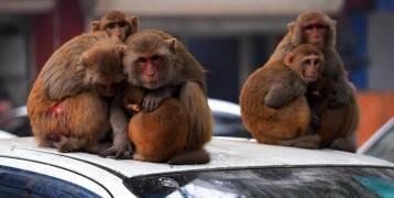 توقيف رجلين استخدما القرود لسرقة المال
