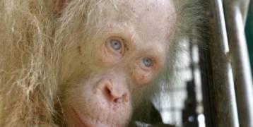 صحة قردة مهقاء نادرة بعد 10 أيام على إنقاذها في إندونيسيا