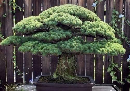 اليابان : شجرة عمرها 400 عام نجت من هيروشيما وتستمر بالنمو