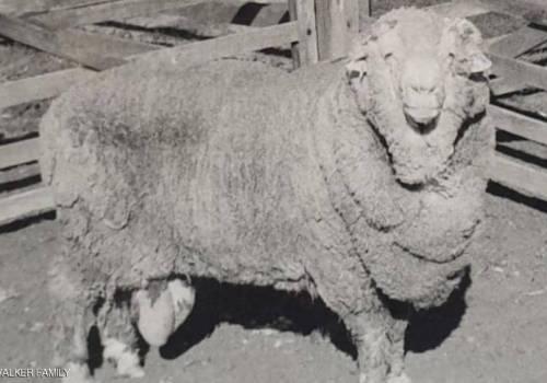 """تخصيب 34 نعجة بحيوانات منوية """"مجمدة"""" منذ نصف قرن"""