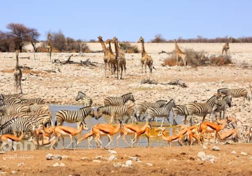 أفريقيا الجنوبية :  أزمة جفاف تُجبر ناميبيا على بيع 1000 حيوان بري في مزاد علني